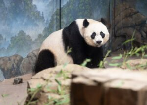 white and black panda inside cage
